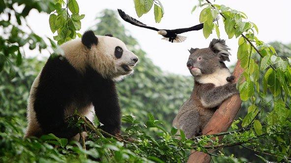 8EC18689-466F-4E58-A301-CFAB83B4186211212011_Panda_Koala_article.jpg
